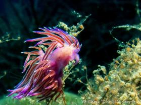 flabellina nudibranch